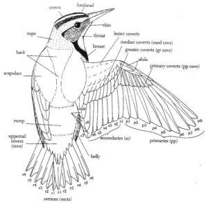 anatomia dell'ala